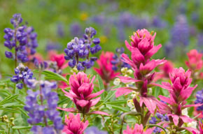 Albion Basin Lupine and Paintbrush