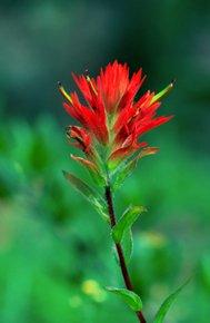 Albion Basin Indian Paintbrush
